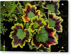 Coleus Acrylic Print by Richard Henne