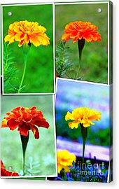 Collage Of Marigolds Acrylic Print by Judy Palkimas