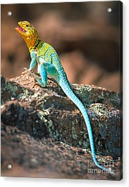 Collared Lizard Acrylic Print by Inge Johnsson