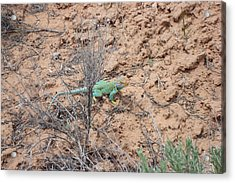 Collared Lizard Acrylic Print by Susan Woodward
