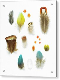 Collection Of Bird Feathers Acrylic Print