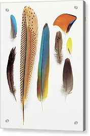 Collection Of Pigeon Feathers Acrylic Print