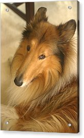Collie Glamour Shot Acrylic Print by Suzanne Powers