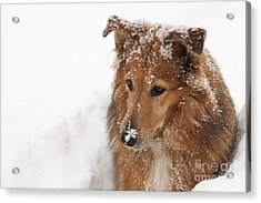 Collie In The Snow Acrylic Print by Jeannette Hunt