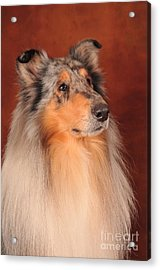 Acrylic Print featuring the photograph Collie Portrait by Randi Grace Nilsberg