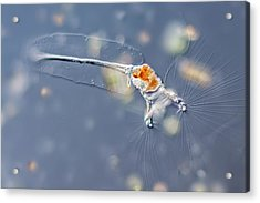 Collotheca Rotifer Acrylic Print by Gerd Guenther