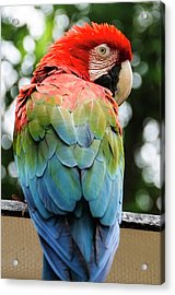 Colombia, Minca Red And Green Macaw Acrylic Print by Matt Freedman