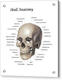 Color Illustration Of A Human Skull Acrylic Print