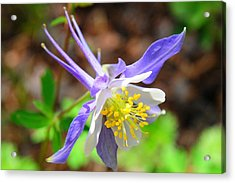 Colorado Blue Columbine Flower Acrylic Print