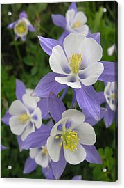 Colorado Blue Columbines Acrylic Print by Robert Lozen