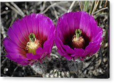 Colorado Cactus Acrylic Print
