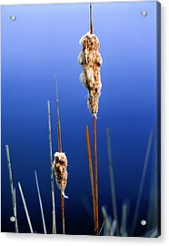 Colorado Cattails Acrylic Print