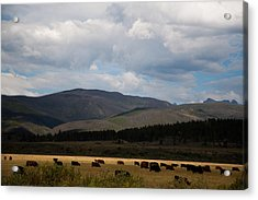Acrylic Print featuring the photograph Colorado Cattle Graze by Shirley Heier