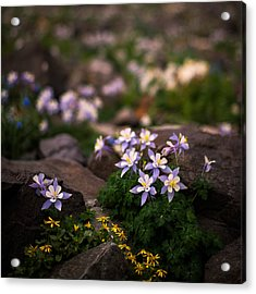 Colorado Columbine Glamour Shot Acrylic Print by Mike Berenson
