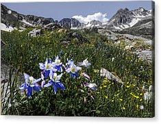Colorado Columbines Acrylic Print