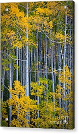 Colorado Fall Color Acrylic Print by Inge Johnsson