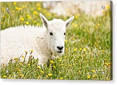 Colorado Kid Acrylic Print by Scott Pellegrin