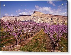 Colorado Orchards In Bloom Acrylic Print