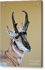 Colorado Plains Antelope Acrylic Print by Ann Marie Chaffin