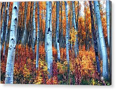 Colorful Aspens Acrylic Print by Brian Kerls