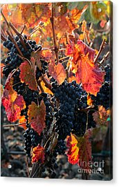 Colorful Autumn Grapes Acrylic Print by Carol Groenen