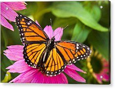 Colorful Butterflies - Orange Viceroy Butterfly Acrylic Print by Christina Rollo