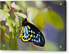 colorful butterfly Ornithoptera priamus Acrylic Print