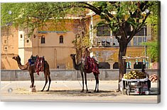 Colorful Camels - Jaipur India Acrylic Print by Kim Bemis