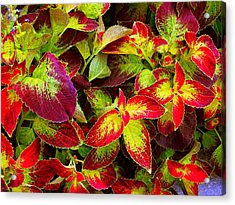 'colorful Coleus' Acrylic Print