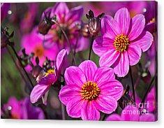 Colorful Dahlia Acrylic Print