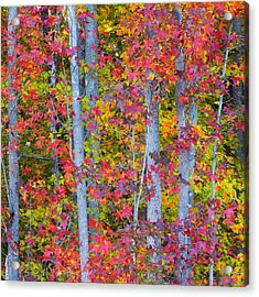 Colorful Fall Leaves Acrylic Print by Scott Cameron