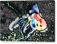 Colorful Fantail Goldfish Acrylic Print by Wernher Krutein