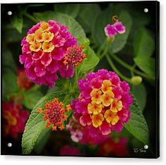 Colorful Lantana  Acrylic Print
