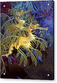 Colorful Leafy Sea Dragons Acrylic Print by Donna Proctor