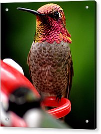 Acrylic Print featuring the photograph Colorful Male Anna Hummingbird On Perch by Jay Milo