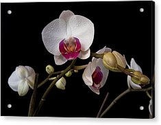 Colorful Moth Orchid Acrylic Print by Ron White