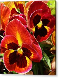 Colorful Pansies Acrylic Print by Bruce Bley
