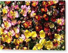 Colorful Pansies Acrylic Print