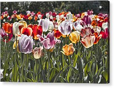 Colorful Tulips In The Sun Acrylic Print