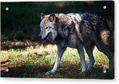 Colorful Wolf Acrylic Print by Karol Livote
