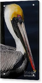 Colors Of A Pelican Acrylic Print by Quinn Sedam