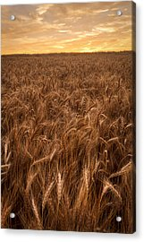Acrylic Print featuring the photograph Colors Of Wheat by Scott Bean
