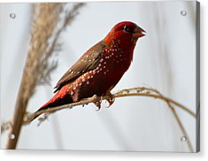 Colour Me Red Acrylic Print by Fotosas Photography