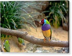 Colourful Bird Acrylic Print by Daniel Precht