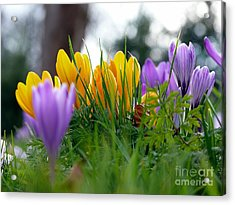 Colourful Crocus Acrylic Print by Morag Bates