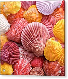 Colourful Scallop Shells Acrylic Print