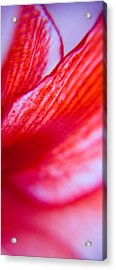 Colours Of A Lily Acrylic Print by Kim Lagerhem