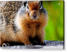 Columbian Ground Squirrel Acrylic Print by Bonnie Fink