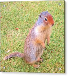 Columbian Ground Squirrel Acrylic Print by Cathy Long