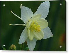 Acrylic Print featuring the photograph Columbine 2 by Ken Dietz